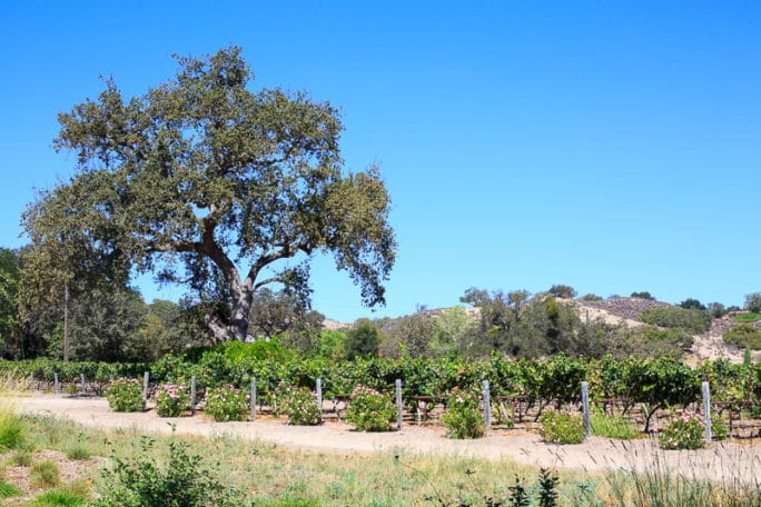 Fess Parker Winery Excursion Ruby Princess Cruise